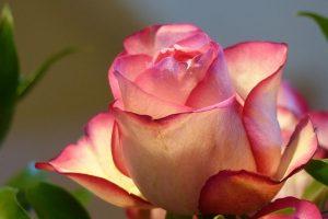 rose-687968_640